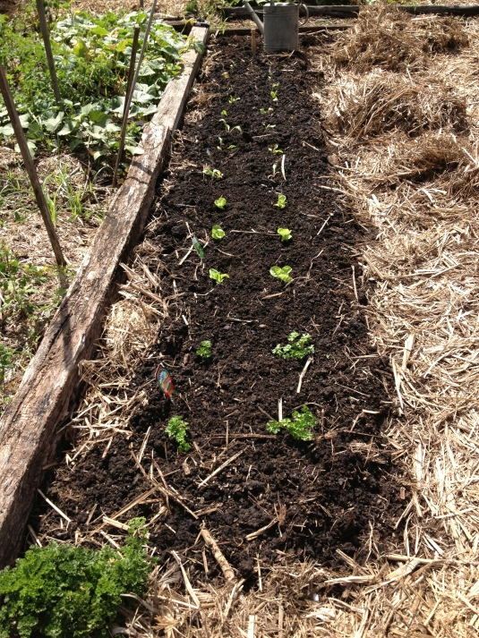 Parsley, lettuce and silverbeet planted