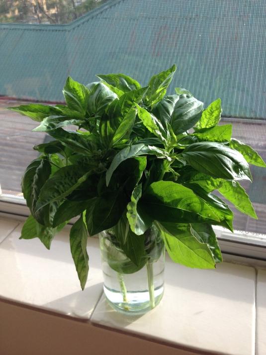 Sweet Basil cuttings