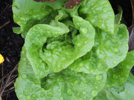 Lettuce, too pretty to eat
