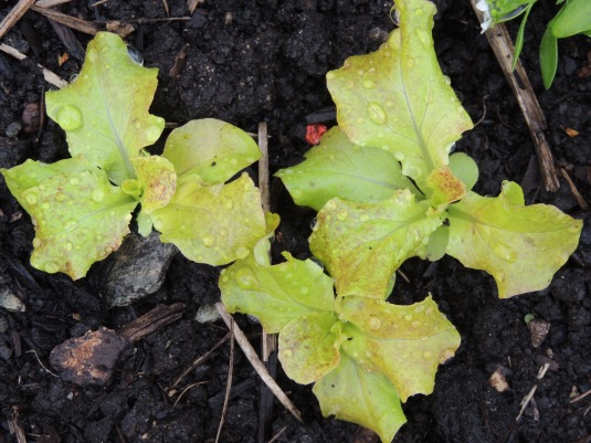 Staggered planting. My follow-on lettuce crop