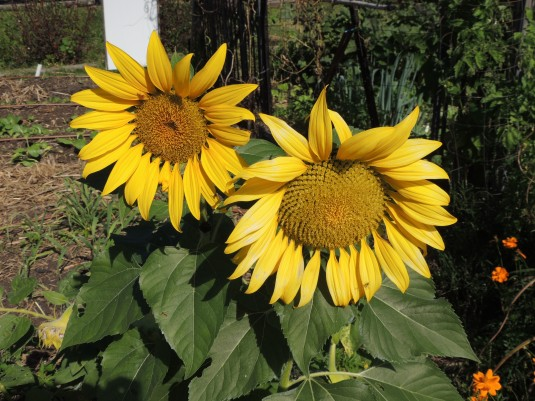 Sunflowers with bee ( in the top corner of the left flower)