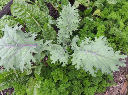 Silverbeet, Kale and parsley