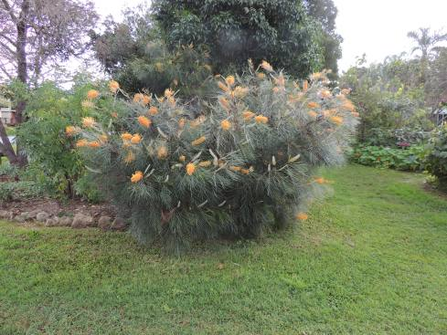 Australian native Bottlebrush tree