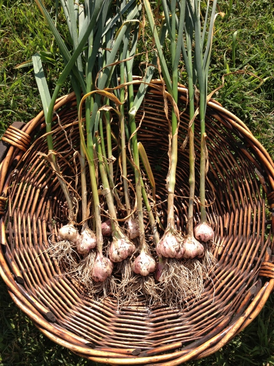 Garlic harvest Sept 2013