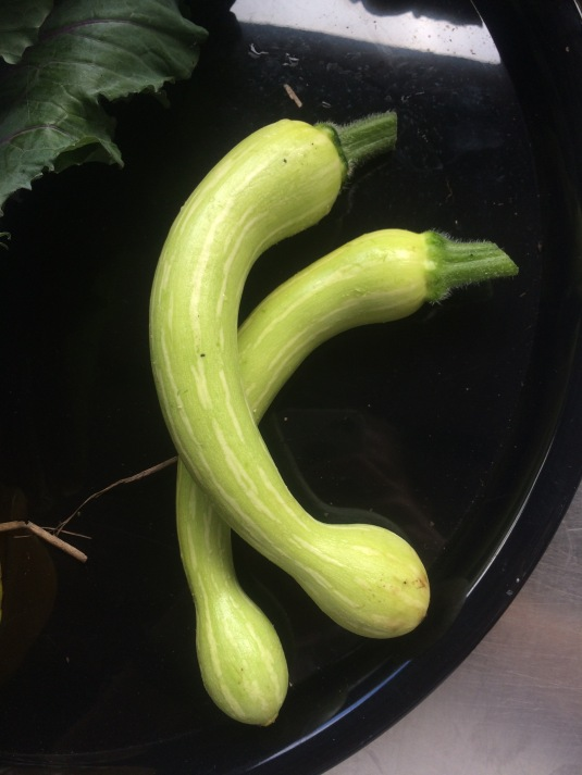 Trombone Zucchini Tromboncino Rampicante